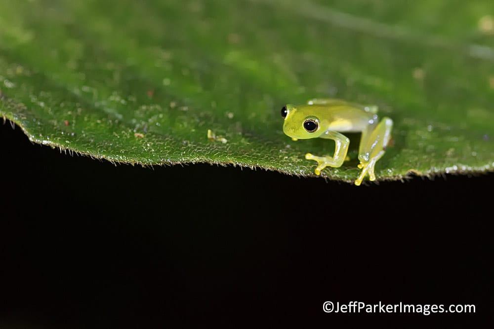 Fleischmann's Glass Frog (Hyalinobatrachium fleischmanni) © Jeff Parker 2013