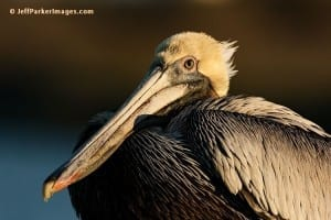 Brown Pelican, by Jeff Parker Whooping Crane Photo Tour 2017