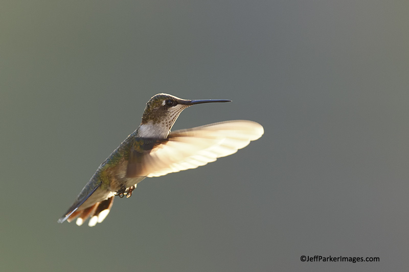 Juvenile male Ruby-throated hummingbird © Jeff Parker~2013
