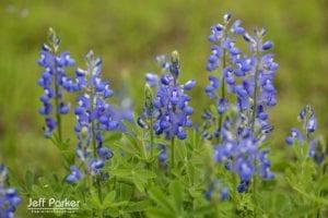 Sandyland bluebonnets