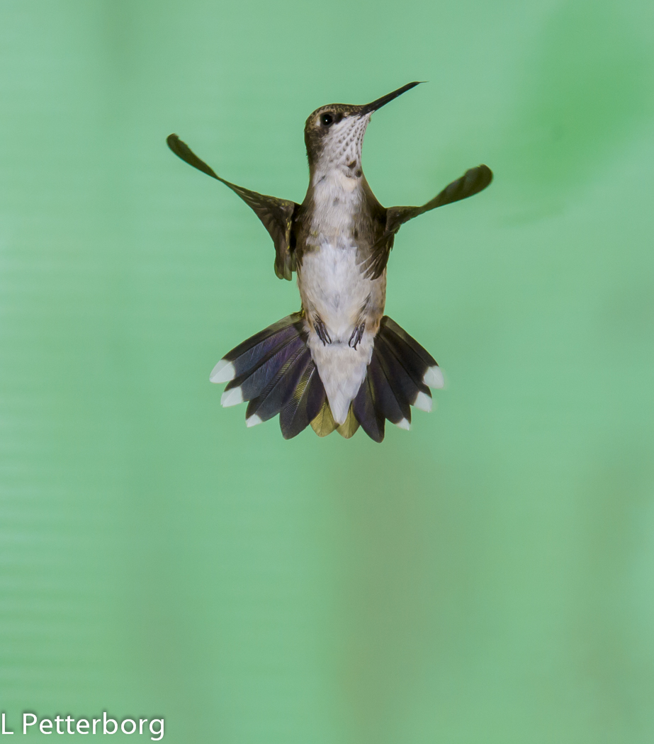 Ruby-throated hummingbird © Larry Petterborg