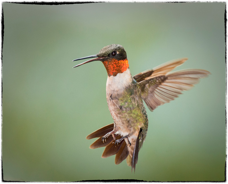 Ruby-throated hummingbird ©Robert Wilbourn