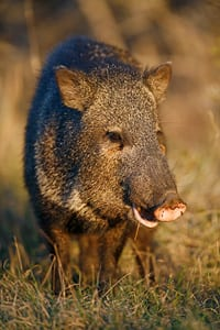 Javelina in south Texas, by Jeff Parker