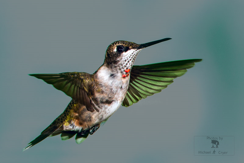 Juvenile Ruby-throated hummingbird © Michael Cryer