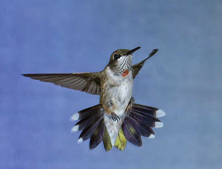 Juvenile male Ruby-throated hummingbird © Paul Munch