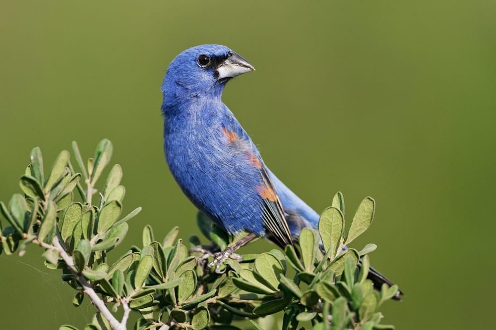 Blue Grosbeak, South Texas, by Jeff Parker