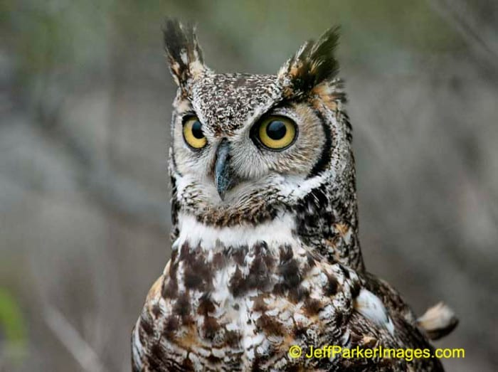 Great Horned Owl, by Jeff Parker