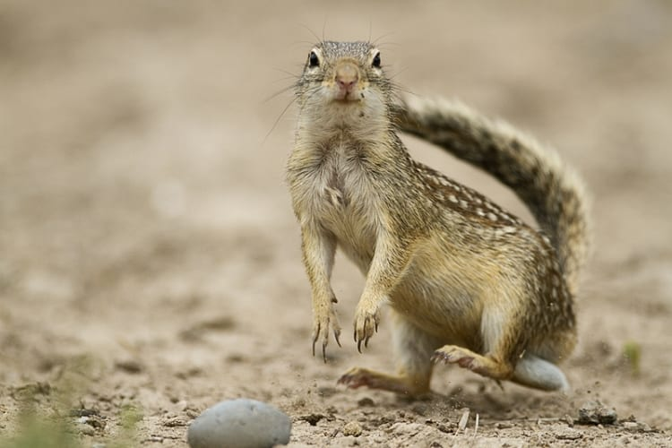 Mexican Ground Squirrel, by Jeff Parker