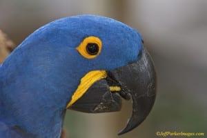 Hyacinth Macaw (Anodorhynchus hyacinthinus) in Brazilian Pantanal