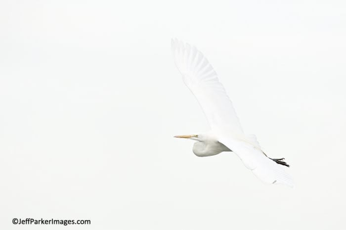 Great Egret in flight~ ©JeffParkerImages.com