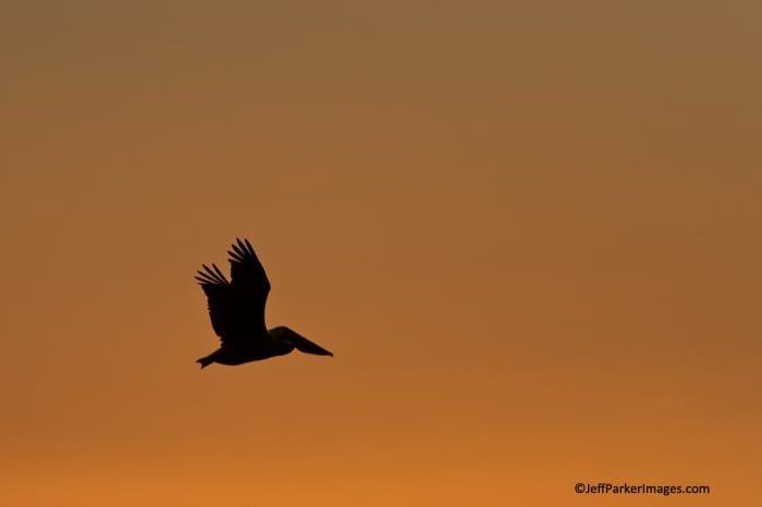 American White Pelican silhouette~ © JeffParkerImages.com