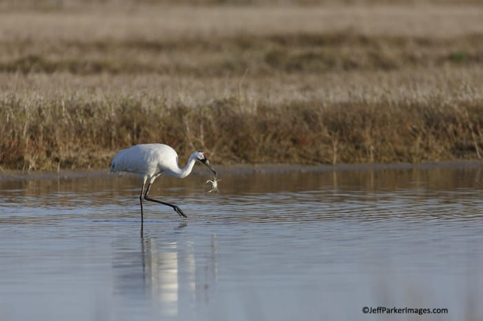 Whooping Crane with Blue Crab ~ ©JeffParkerImages.com