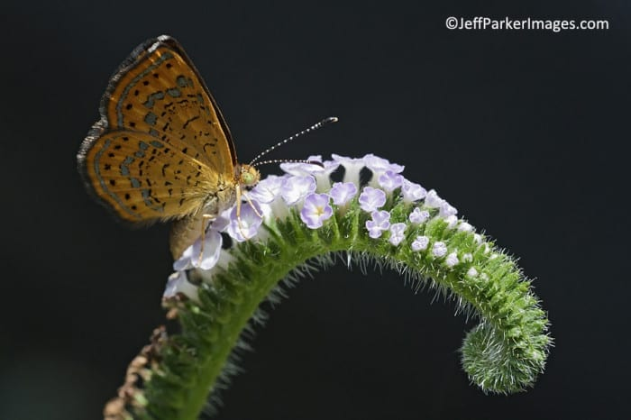 Rounded metalmark ~ ©JeffParkerImages.com