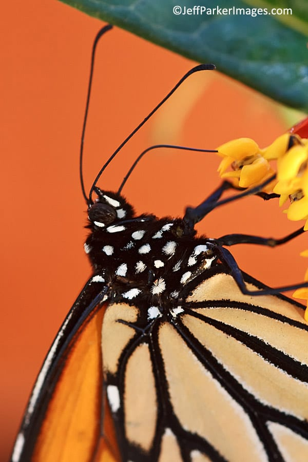 Monarch butterfly ~ ©JeffParkerImages.com