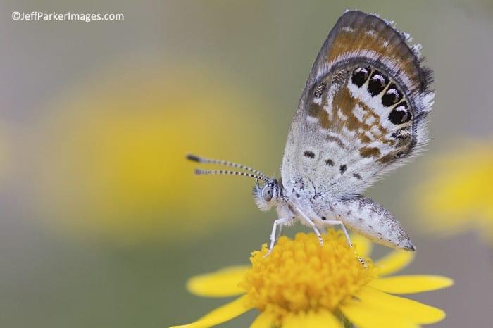 Western Pygmy-Blue ~ ©JeffParkerImages.com