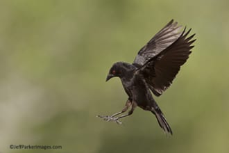Bronzed cowbird in flight ~ ©JeffParkerImages.com