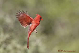 Northern Cardinal in flight ~ ©JeffParkerImages.com