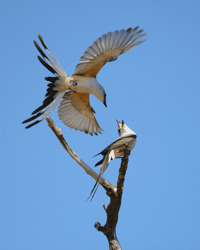 Scissor-tailed flycatchers in action.