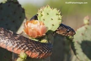 Texas Indigo Snake; copyright Jeff Parker