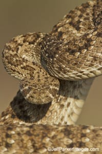 Western Diamondback; copyright Jeff Parker