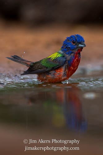 Painted Bunting South Texas Birds Photo Tour 2015