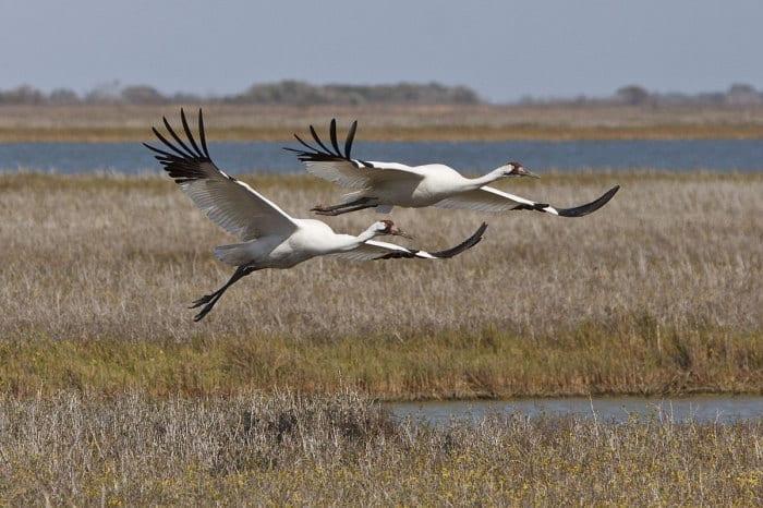 Whooping Cranes (Grus americana) at Aransas National Wildlife Refuge