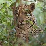 Jaguars of the Pantanal Photo Tour with Jeff Parker