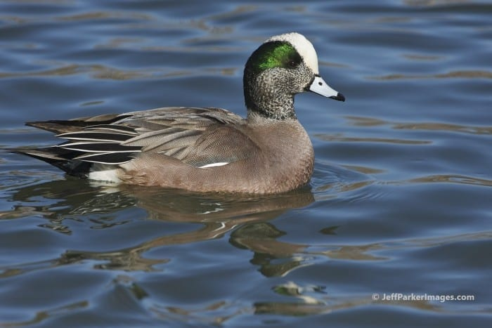 American Widgeon (Anas americana), by Jeff Parker