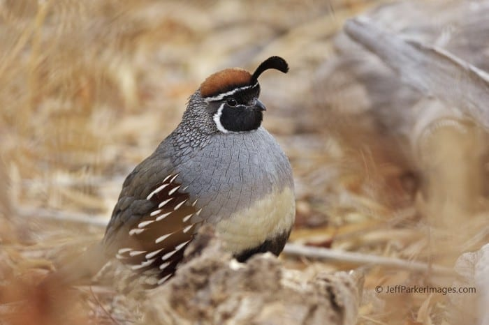 Gambel's Quail (Callipepla gambelii), by Jeff Parker
