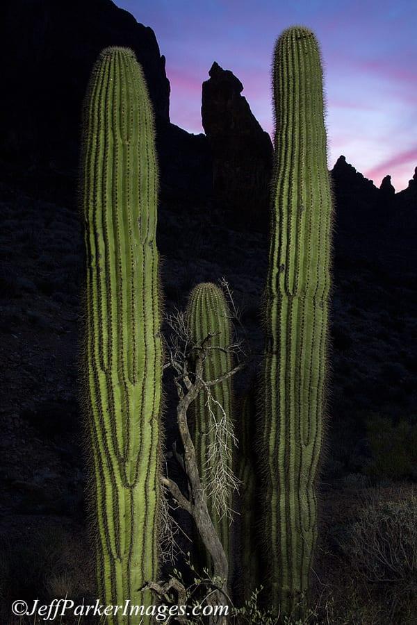 Saguaro cacti, by Jeff Parker