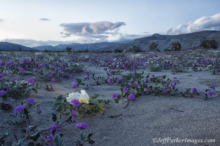 Anza Borrego State Park flowers, by Jeff Parker