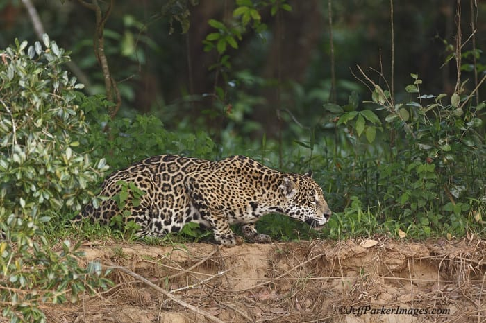 Jaguars of the Pantanal Photo Tour with Jeff Parker