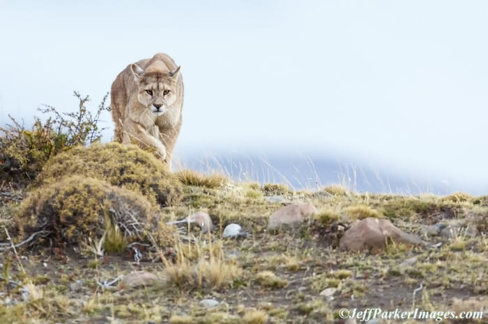 Jeff Parker's photo tour of Pumas of Patagonia.