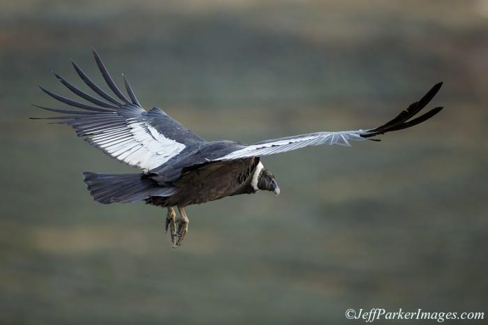 Andean Condor ~ ©Jeff Parker