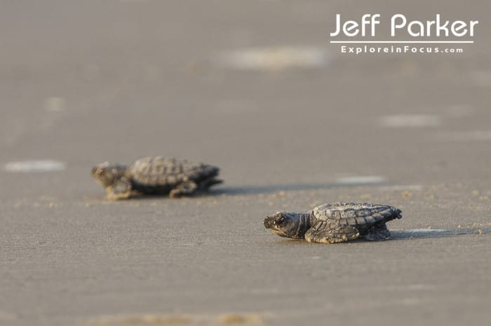 Kemp's Ridley Sea Turtle Hatchlings Run for Water at North Padre Island National Sea Shore, Texas
