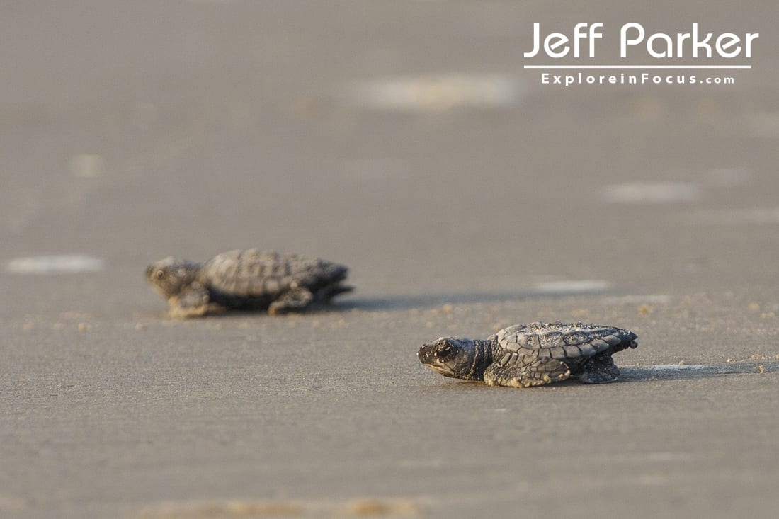Sea Turtle Hatchlings Run for Water at North Padre Island National Sea Shore, Texas