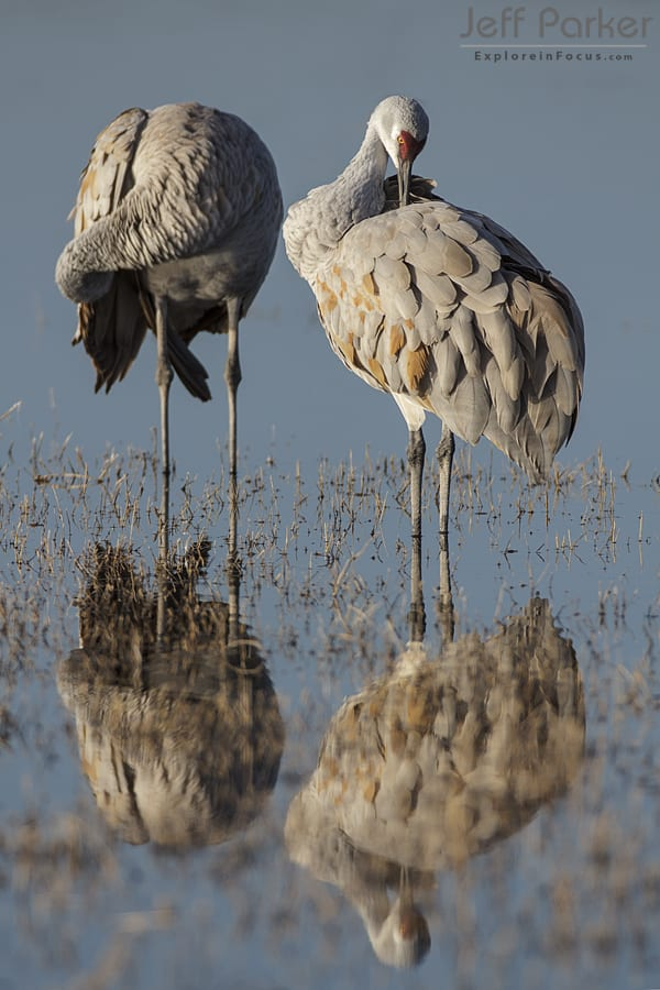 Sandhills Cranes preening with an interesting reflection, photo by Jeff Parker.