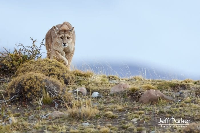 Pumas and Peaks of Patagonia photo tour ~ 2019; Mountain lions, Cougars, Torres del Paine National Park
