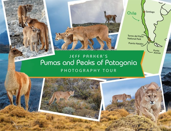 Join Jeff Parker in Chile for his Pumas & Peaks of Patagonia Photo Tour ~ 2019 and photograph wild pumas.