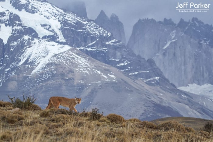 Puma wild and free in Patagonia.