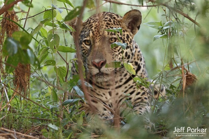 Wild jaguar at home in the Pantanal, by Jeff Parker