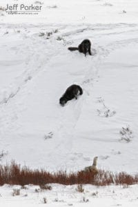 Wild wolves playing in the Yellowstone snow