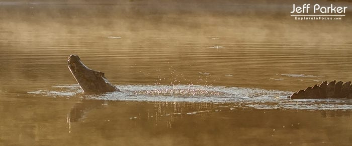 Yacare caiman doing the water dance; photo by Jeff Parker in Pantanal