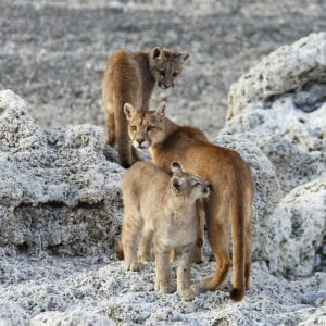 Wildlife photography tours_pumas of patagonia