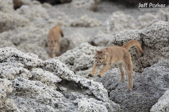 "Young wild pumas photographed during Jeff Parker's ""Pumas & Peaks of Patagonia Photo Tour'"
