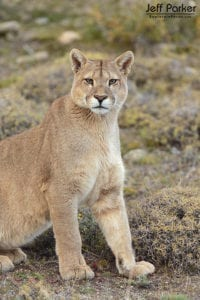 Young male puma photographed during my last tour. He was absolutely amazing to behold!