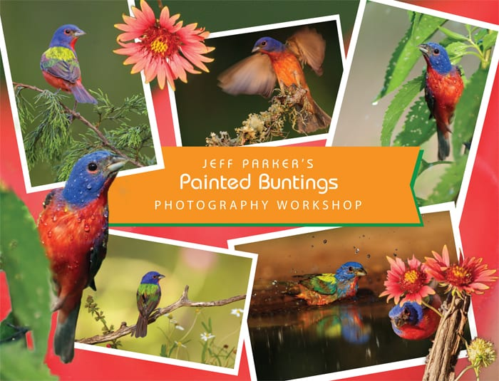 Join Jeff Parker for his evening-based Painted Bunting Photography Workshop ~ 2019 and photograph these vibrant and colorful birds. The workshop includes two photo shoots, one of which takes place during the sweet light at day's end.
