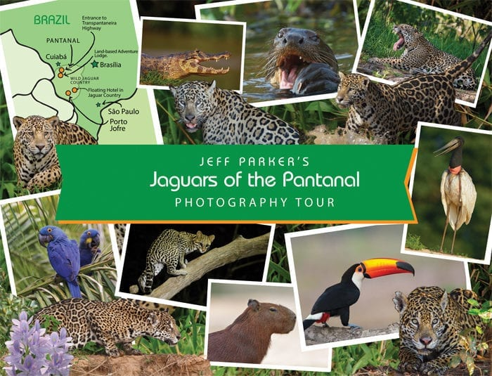 Explore in Focus™ with Jeff Parker during his Jaguars of the Pantanal Photo Tour ~ 2019 and photograph wild jaguars, endangered river otters, ocelots, Hyacinth Macaws, Jabiru Storks, monkeys, parrots, raptors, and SO much more.