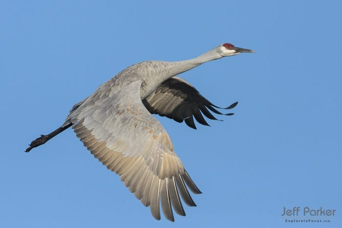 Sandhill Crane in flight in perfect morning light