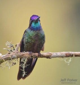 Rivoli's Hummingbird in Southeastern Arizona, by Jeff Parker